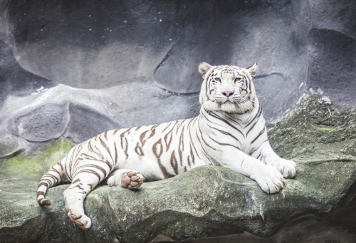 Tiger White animal-web