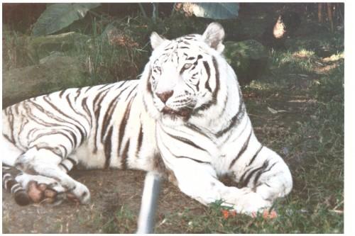 white tiger 3 better-1